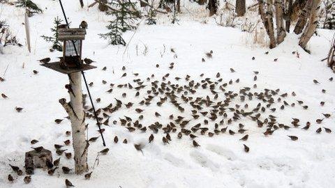A flock of common redpolls feeding on seeds in feeders and snow. Photo:  ©Kim Behrens