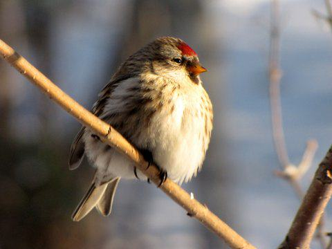 A female common redpoll sits on branch, feathers fluffed in deep cold. Photo: ©Kim Behrens