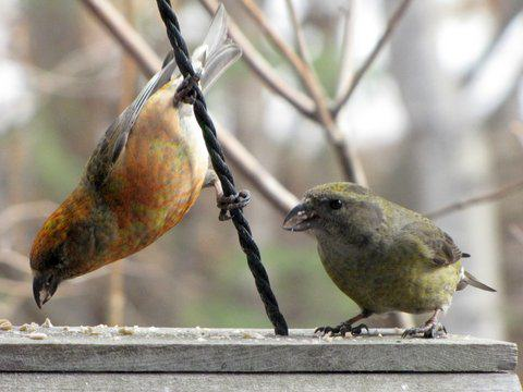 A pair of red crossbills (the more colorful male on the left) eat seeds at a backyard bird feeder in Anchorage. Photo: ©Kim Behrens