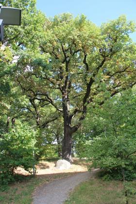 Old oak tree. Photo: Maria Ignatieva