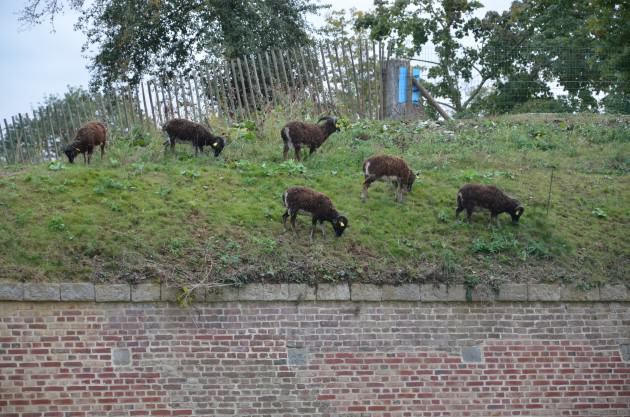 Forget the city limits: Soay sheep, grazing on the top of the old fortifications of the city of Lille (France). Photo: Lamiot, Wiki 2012