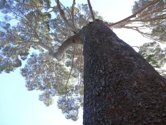 Colossal Aleppo Pine of Arderne