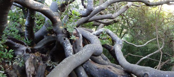 Van Riebeeck's Hedge