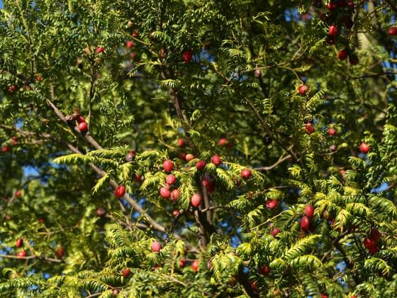 Native New Zealand podocarp tree Prumnopitys ferruginea (miro) in full fruit in the red zone. Photo: Glenn Stewart