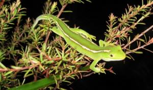 New Zealand green gecko – important pollinators for many native plant species. Photo: New Zealand Department of Conservation.