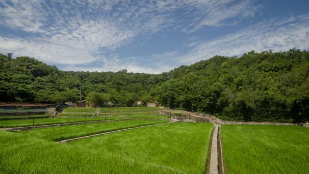 The only rice field left on Megijima. Photo: Patrick M. Lydon
