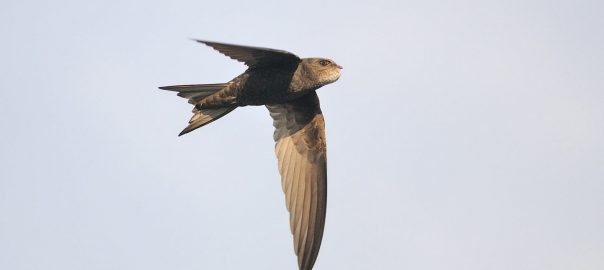 Swift returning to the nest with a bulging throat pouch full of food. Photo David and Jackie Moreton