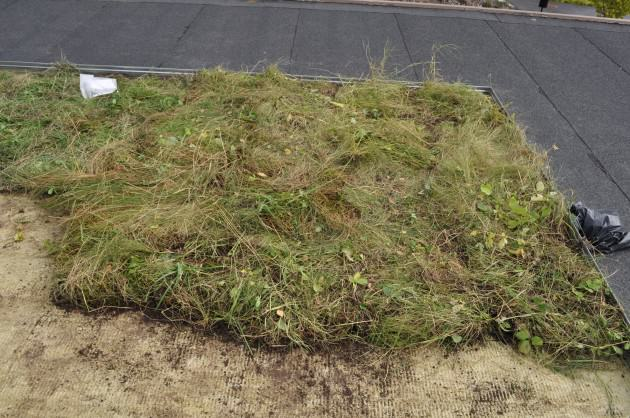 Native turf on the experimental roof in the first week of the experiment. August 2012. Ultuna