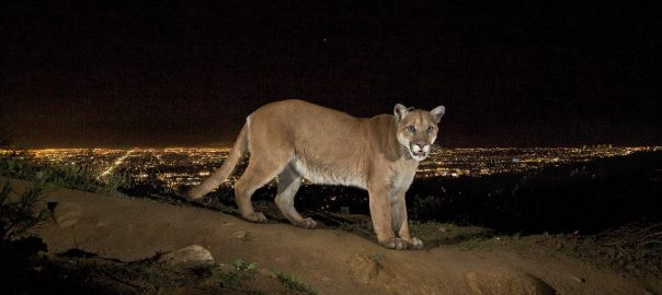 Back cover shot: Mountain lion in the Santa Monica Mountains above Los Angeles. From the cover of Urban Protected Areas. Photo: Steve Winter/National Geographic Society © NGS 2013. Used by permission.