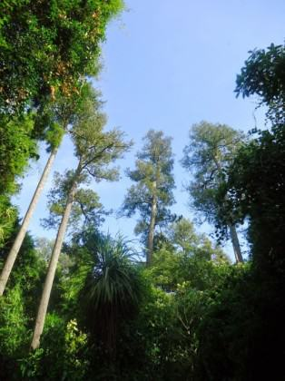 The interior of Riccarton Bush. The Dacrycarpus trees are c. 30-35 metres tall and c. 450 years old. Photo: www.riccarton house.co.nz