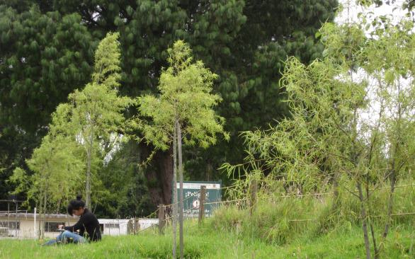 "A participant of the urban forest values studies in Bogotá in a small wetland in the city, which is surrounded by recent plantings of the local ""sauce bogotano"", a local tree species of willow. Photo: Camilo Ordóñez)"