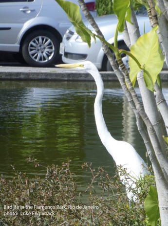 Engleback Egret