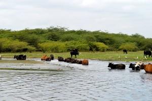 Cattle grazing around lakes in Bengaluru. Photo: Hita Unnikrishnan