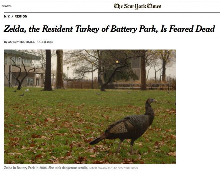 Zelda the Wild Turkey Feared Dead
