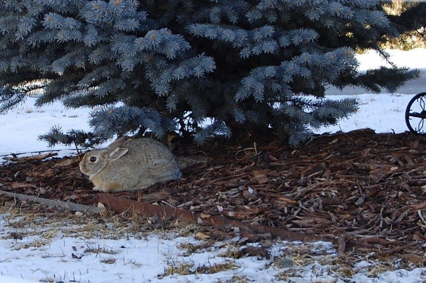 A small rabbit spotted in a landscaped common area of a Colorado conservation development. Photo: Daniel Feinberg