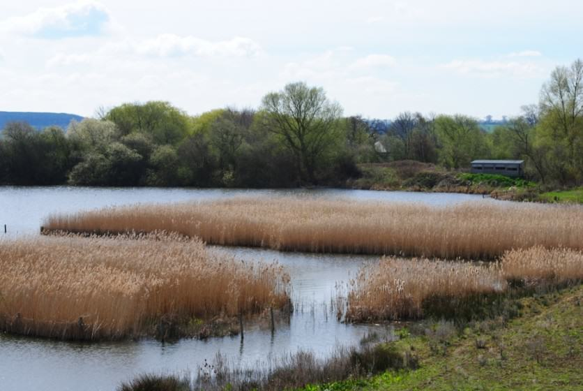 Attenborough Lakes gravel pit nature reserve with reed beds and alder woodland. Photo: Nottinghamshire Wildlife Trust