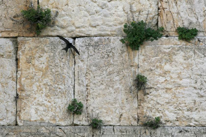 "It is interesting to note that in 2003 the Jerusalem Development Authority undertook the enormously costly job of ""repairing"" faults in the walls of the Old City and the Western Wall. This might have meant extinction for the swifts and other flora and fauna in and on these ancient walls, had it not been for the swift action ( not meant as a pun) of the Society for the Protection of Nature in Israel and the International Swift Lovers' Organization, who stepped in and saved important urban nature for Jerusalem."