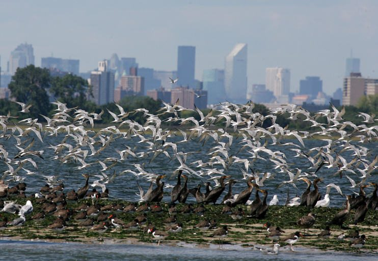 Terns in Jamaica Bay, with New York skyline. Photo: Don Riepe, American Littoral Society