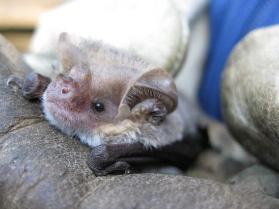 Long-eared bat 3 Caragh Threlfall