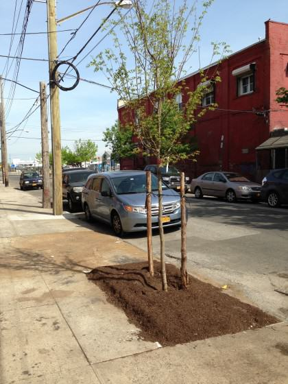 Red Hook street tree. Photo: Lindsay Campbell