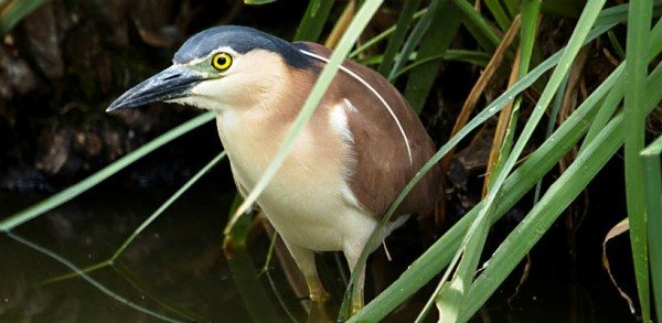 Nankeen_Night_Heron_web
