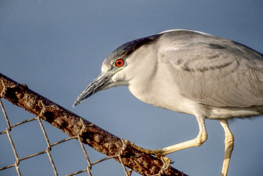 Black-crowned night heron Photo (copyright) Mike Feller