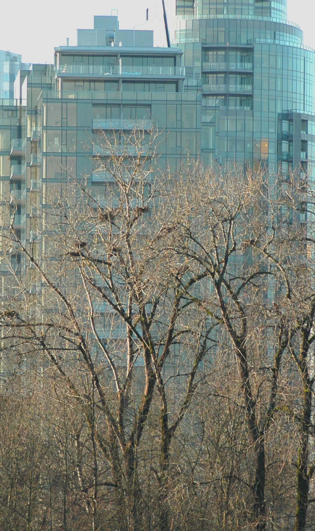 Condos,  Great Blue Heron Nests, Ross Island and South Waterfront Condominiums. Photo (copyright) Mike Houck