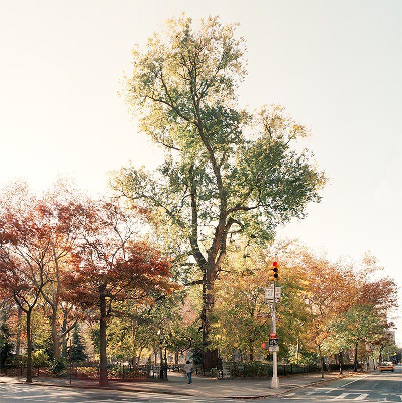 English Elm. Washington Square Park, Manhattan. November 17, 2010. Copyright Benjamin Swett