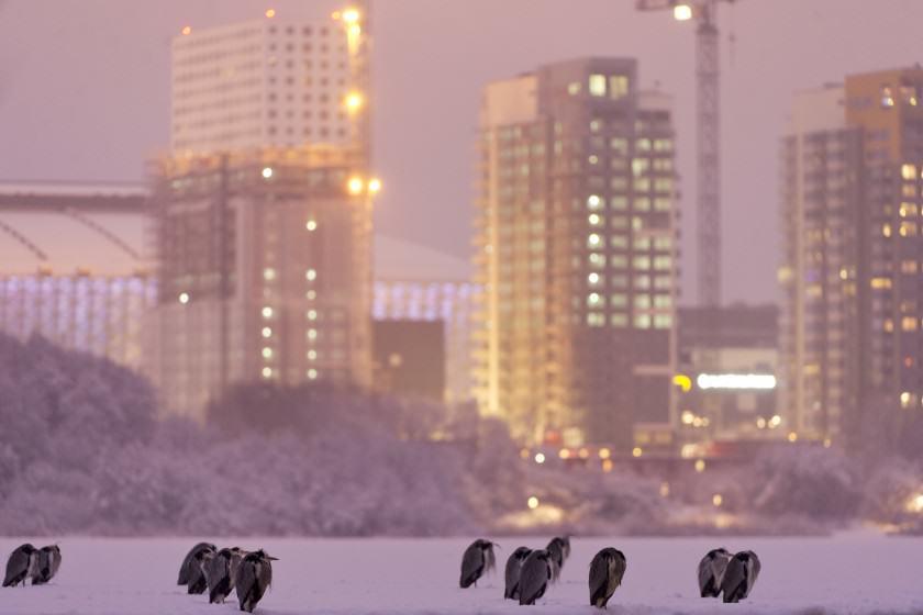 Grey herons at råstasjön. By (copyright)JonathanStenvall