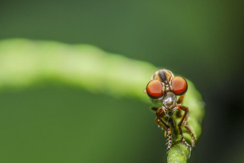 Robber fly. Photo (copyright) Mike Feller