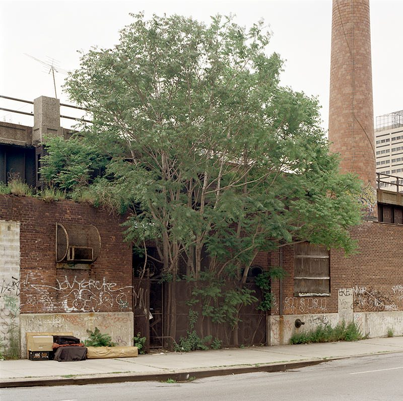 Tree of Heaven, 30th Street at 11th Avenue, Manhattan, May28, 2002. Copyright Benjamin Swett