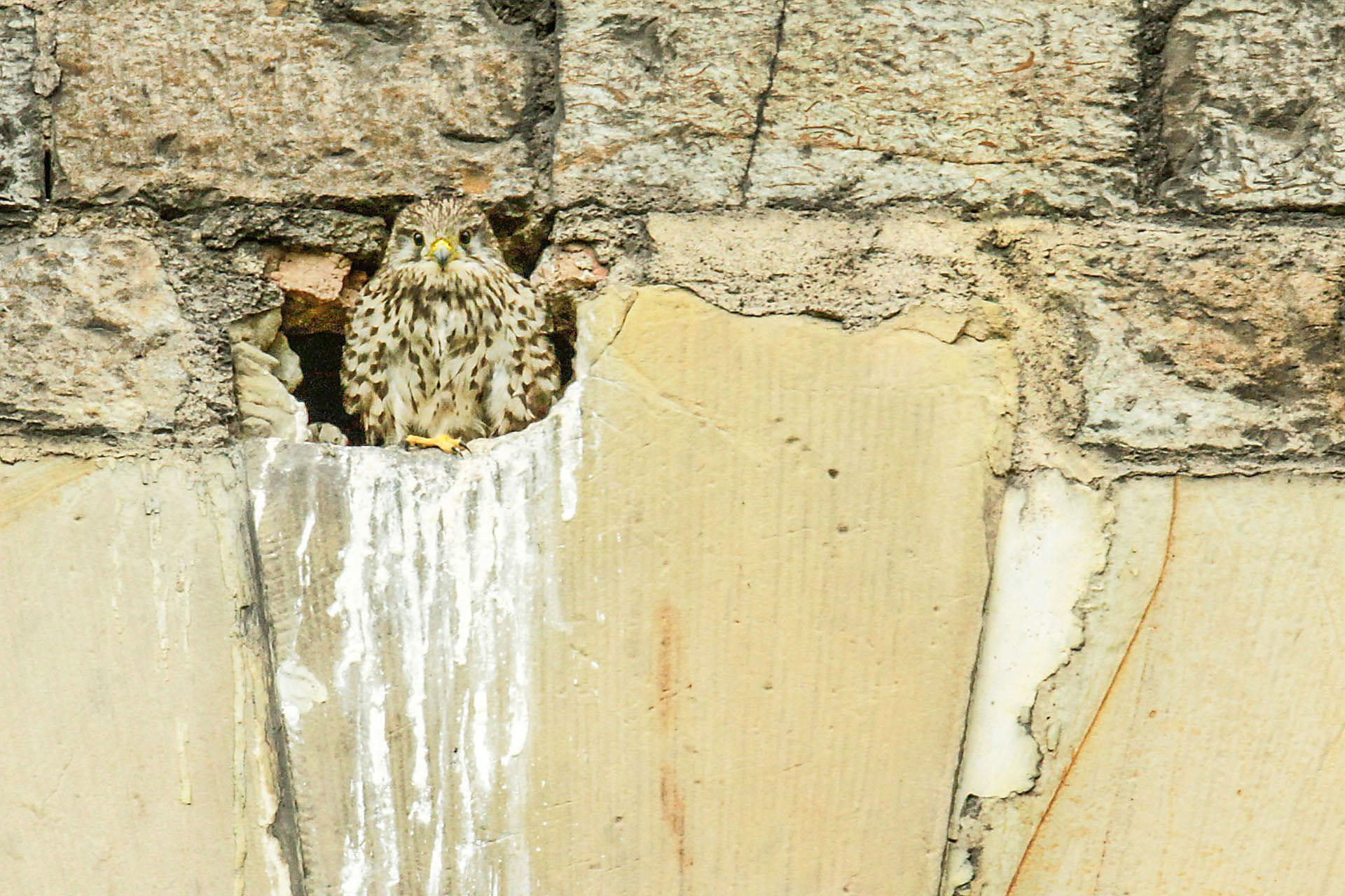 Young kestrel overlooking the city from his nesting cave in a historic building. Photo (copyright) Monika Lawrence