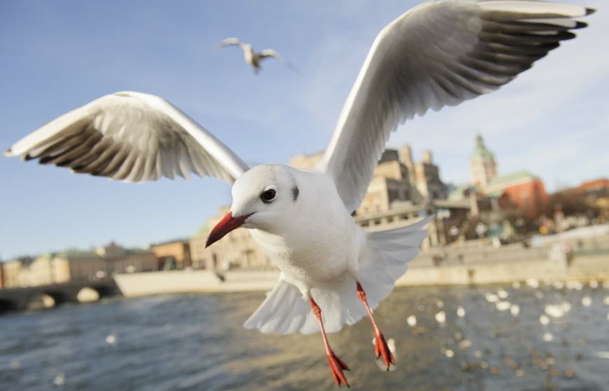 Urban Gull. By (copyright) Jonathan Stenvall