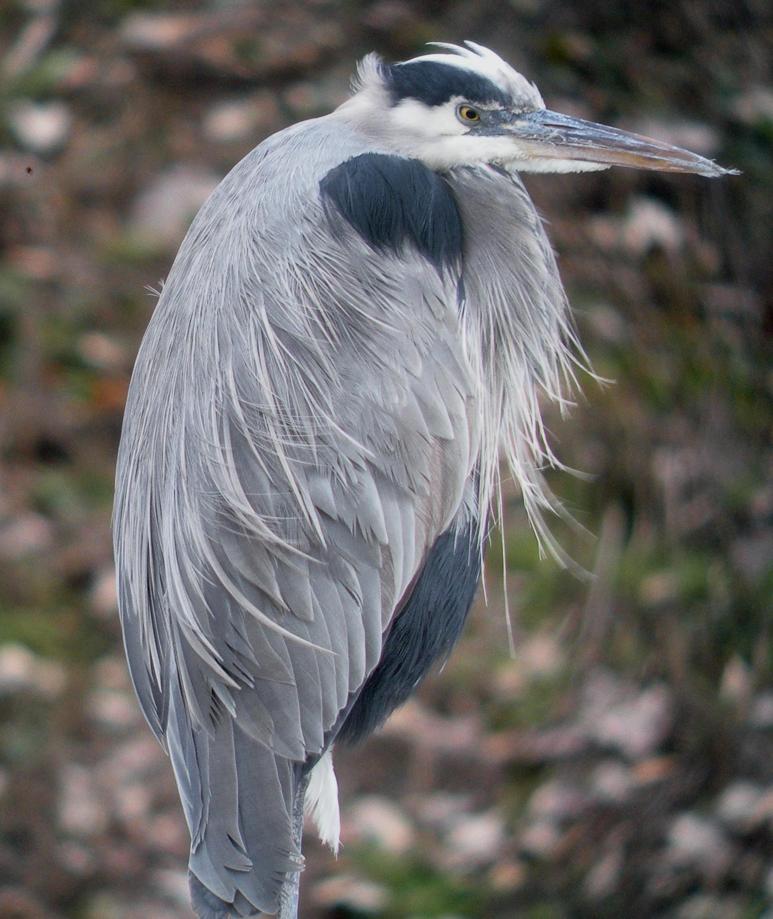 Great Blue Heron. Photo: Mike Houck