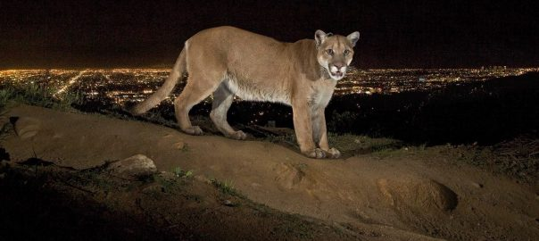 Mountain lion in Santa Monica MountainsFEATURE