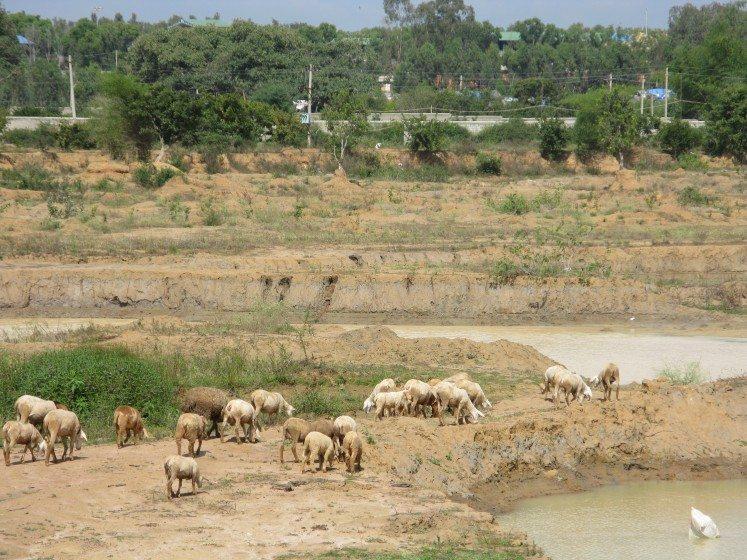 5. Goats grazing at a lake in Bangalore