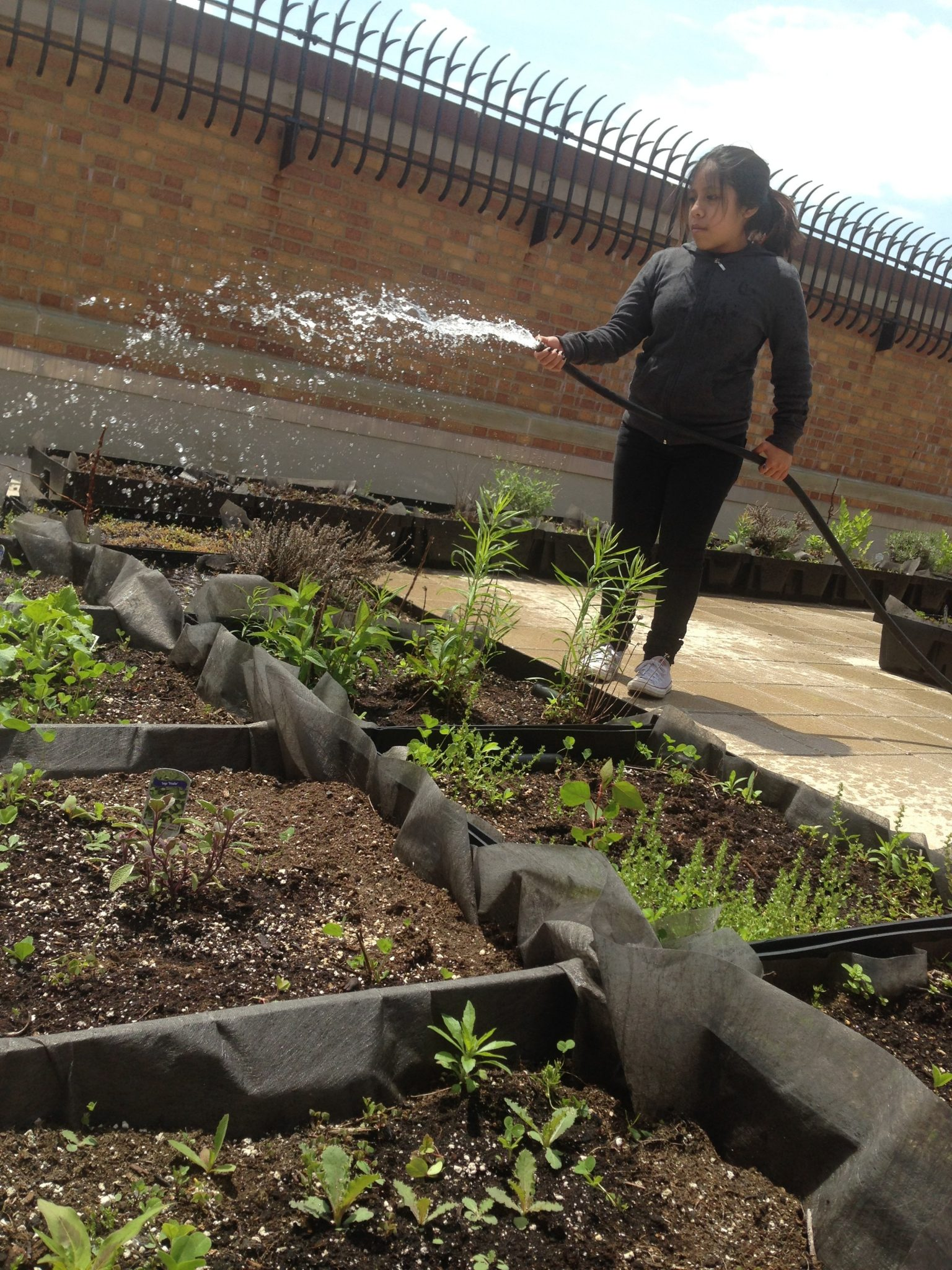 Global Kids Leader at William Cullen Bryant High School tending green roof garden, May2015