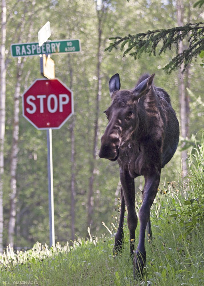 Anchorage's human residents share their city with hundreds of moose, who must negotiate assorted urban challenges. Used with permission of Alaska Department of Fish and Game