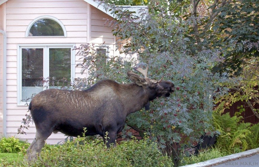 A moose dines on the fruit of an ornamental shrub in an Anchorage yard. Used with permission of Alaska Department of Fish and Game