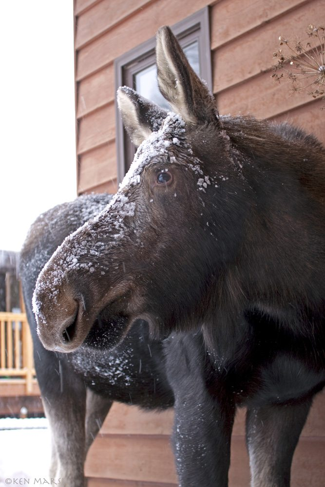 A young moose takes up temporary residence in the yard of an Anchorage homeowner. Used with permission of Alaska Department of Fish and Game