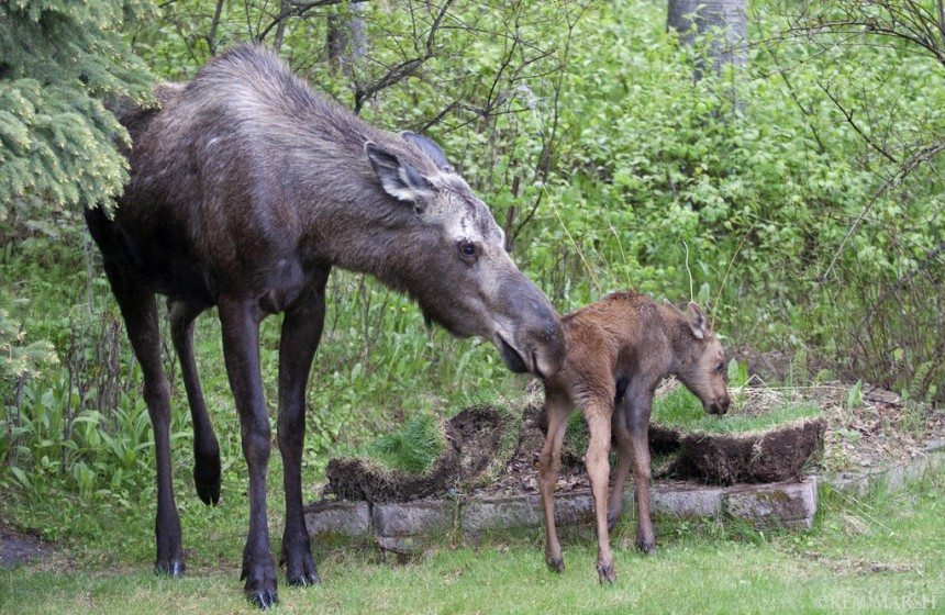 A cow moose nuzzles its newborn calf; cows are protective moms and will aggressively defend their young, especially in the days immediately following their birth. Used with permission of Alaska Department of Fish and Game