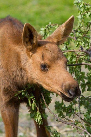 Cinnamon colored, moose calves usually weigh 30 to 35 pounds when they're born in late May or early June and will weigh 300 to 400 pounds by the fall. Photo: Doug Lindstrand