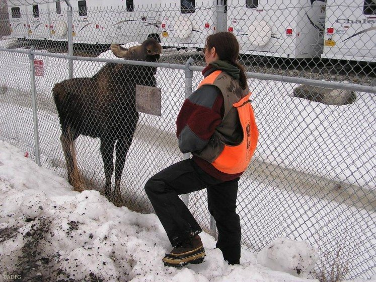"Former Alaska wildlife manager Jessy Coltrane watches a young moose that got ""stuck"" inside a fenced area and will need help finding its way out. Used with permission of Alaska Department of Fish and Game"
