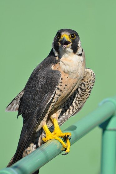 7 Peregrine Falcon Photo Mike Houck DSC_0240