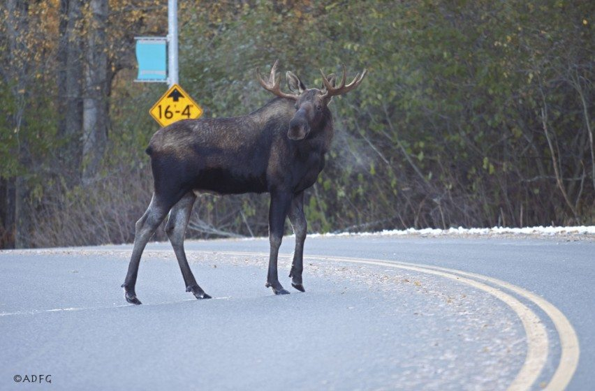A moose pauses while crossing an Anchorage street; moose-vehicle collisions are especially a concern in winter driving conditions. Used with permission of Alaska Department of Fish and Game
