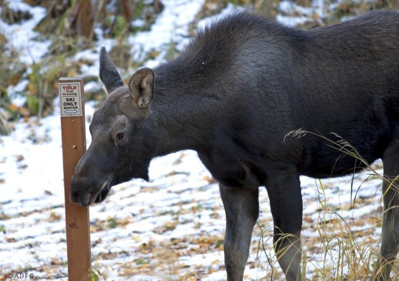 Though most Anchorage residents love sharing their city with moose, conflicts are inevitable, for example when moose and outdoors enthusiasts meet along trails. Used with permission of Alaska Department of Fish and Game