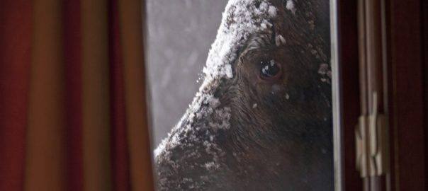 Up close and personal: portrait of a moose standing beside the window of an Anchorage home. Used with permission of Alaska Department of Fish and Game