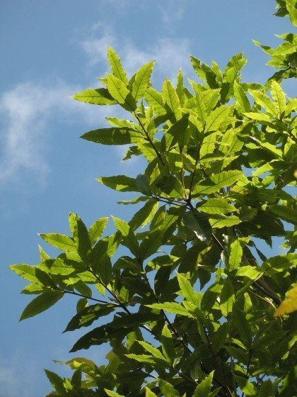 ColombianOak_Quercus_humboldtii_2008_MHS
