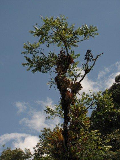 MountainSpanishCedar_Cedrela_montana_InItsNaturalHabitat_2012_MHS