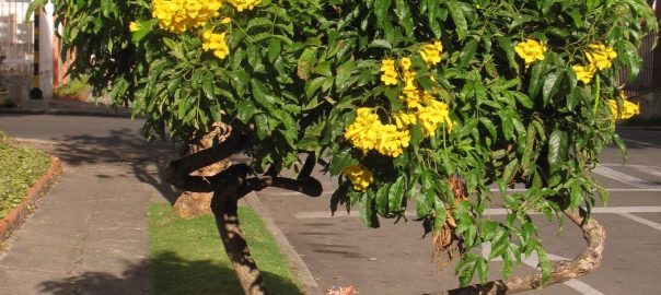 YellowTrumpet-flower_Tecoma_stans_InTheStreetsOfBogota_2013_MHS
